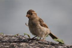 Moineau d'oiseau Photographie stock libre de droits