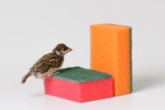 Moineau d'oisillon avec une éponge pour les plats de lavage, d'isolement sur W Photos stock
