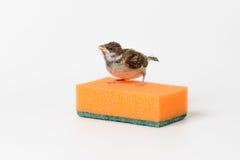 Moineau d'oisillon avec une éponge pour les plats de lavage, d'isolement sur W Images stock