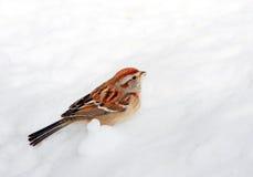 Moineau dans la neige Photographie stock