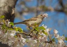 Moineau de Chambre été perché sur fleurir Cherry Tree Branch Images libres de droits