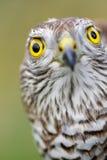 Moineau-faucon Photographie stock libre de droits