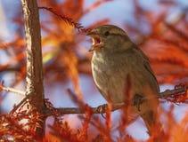 Moineau femelle chantant, Montreux, Suisse Images stock