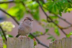 Moineau femelle sur ma barrière de jardin photographie stock libre de droits