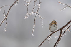 Moineau froid images stock