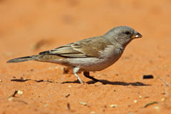 Moineau Grey-headed, désert de Kalahari Photographie stock