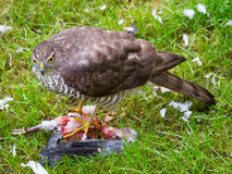 Moineau Hawk Feeding Image libre de droits