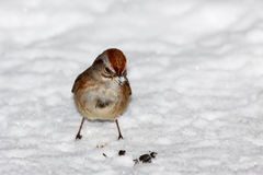 Moineau restant dans la neige Photographie stock