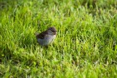 moineau se reposant dans l'herbe image stock