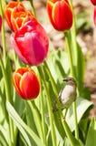 Moineau se reposant sur des tulipes Photo libre de droits