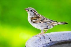 Moineau sur Bath d'oiseau Photographie stock