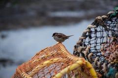 Moineau sur un pot de homard Photographie stock libre de droits