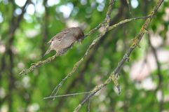 Moineau sur une branche d'arbre Photographie stock libre de droits