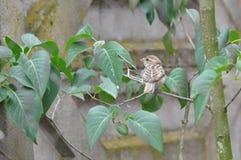 Moineau sur une branche d'arbre Photos stock