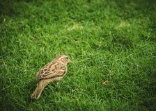 Moineau sur une pelouse verte photo libre de droits