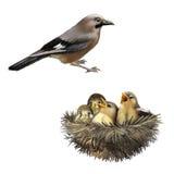 Moineaux affamés de bébé dans un nid voulant la mère Images libres de droits