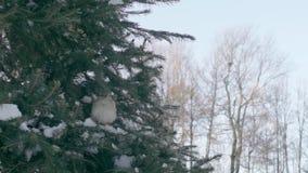 Moineaux dans la forêt de sapin clips vidéos
