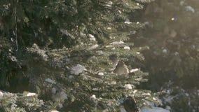 Moineaux dans la forêt de sapin banque de vidéos