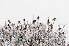 Moineaux dans les buissons Images libres de droits