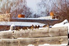 Moineaux dans une rangée sur une barrière en bois Photographie stock libre de droits