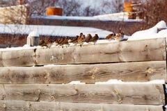 Moineaux dans une rangée sur une barrière en bois Photo stock