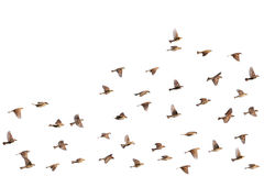 Moineaux de vol Photos libres de droits