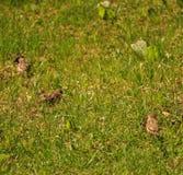 Moineaux mangeant et recherchant dans l'herbe Photo stock