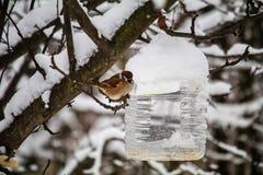 Moineaux près du conducteur fait maison d'oiseau, mangeant le grain aidez les oiseaux en hiver protection des oiseaux et des anim image stock