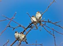 Moineaux se reposant sur un arbre photographie stock libre de droits