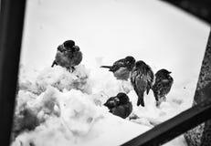 Moineaux sur la neige Photographie stock libre de droits