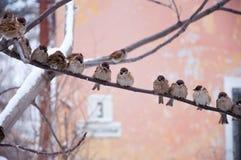 Moineaux sur une branche en hiver Photographie stock libre de droits