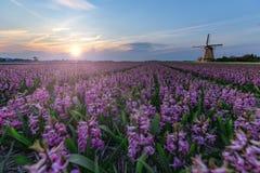 Moinho de vento na exploração agrícola do bulbo do jacinto fotografia de stock royalty free