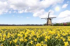 Moinho de vento na exploração agrícola do bulbo do narciso amarelo imagens de stock royalty free
