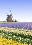 Moinho de vento na exploração agrícola do bulbo do Tulip Fotos de Stock