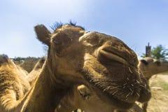 Moinho do camelo Imagem de Stock