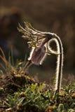 Moinho do Pulsatilla da flor de Pasque ou pasqueflower, flor do vento, açafrão da pradaria, narciso, e anêmona do prado Imagens de Stock