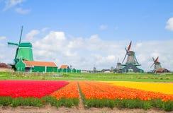 Moinhos de vento holandeses sobre campos de flor Imagem de Stock