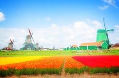 Moinhos de vento holandeses sobre campos de flor imagem de stock royalty free