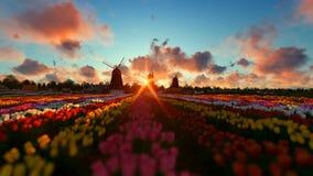 Moinhos de vento holandeses tradicionais com as tulipas vibrantes no primeiro plano, nascer do sol do timelapse filme