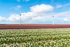 Moinhos de vento no campo da tulipa Imagens de Stock