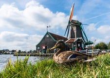 Moinhos de vento de Zaanse Schans e pato domesticado no primeiro plano fotografia de stock royalty free