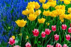 Moinhos velhos do adnd do campo da tulipa no netherland Imagens de Stock Royalty Free