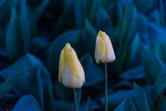 Moinhos velhos do adnd do campo da tulipa no netherland Foto de Stock