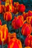 Moinhos velhos do adnd do campo da tulipa no netherland Fotografia de Stock