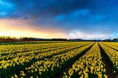 Moinhos velhos do adnd do campo da tulipa no netherland Imagem de Stock Royalty Free