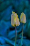 Moinhos velhos do adnd do campo da tulipa no netherland Fotos de Stock