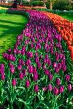 Moinhos velhos do adnd do campo da tulipa no netherland Foto de Stock Royalty Free
