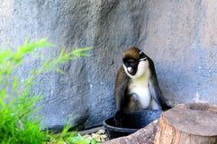Moins Endroit-ont flairé le singe photographie stock libre de droits