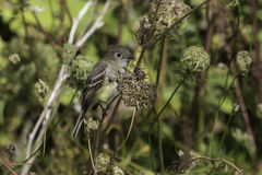 Moins FLYCATCHER Images stock