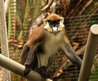 Moins tache-ont flairé le primat de singe Photographie stock
